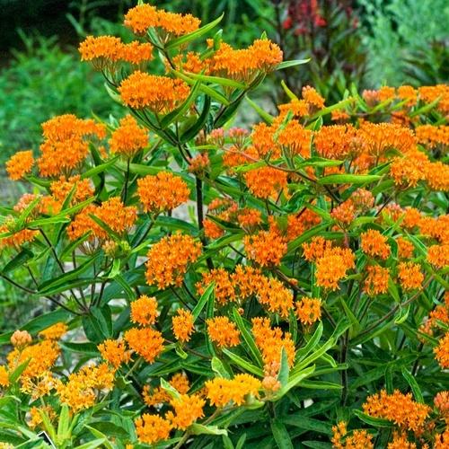 Top 20 perennials for every garden delhi for Perennial garden
