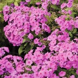 WaltersGardens-HI16773-Phlox-paniculata-FLAME-tradeSeries-Pink-BartwelvePP11804-CPBR1094