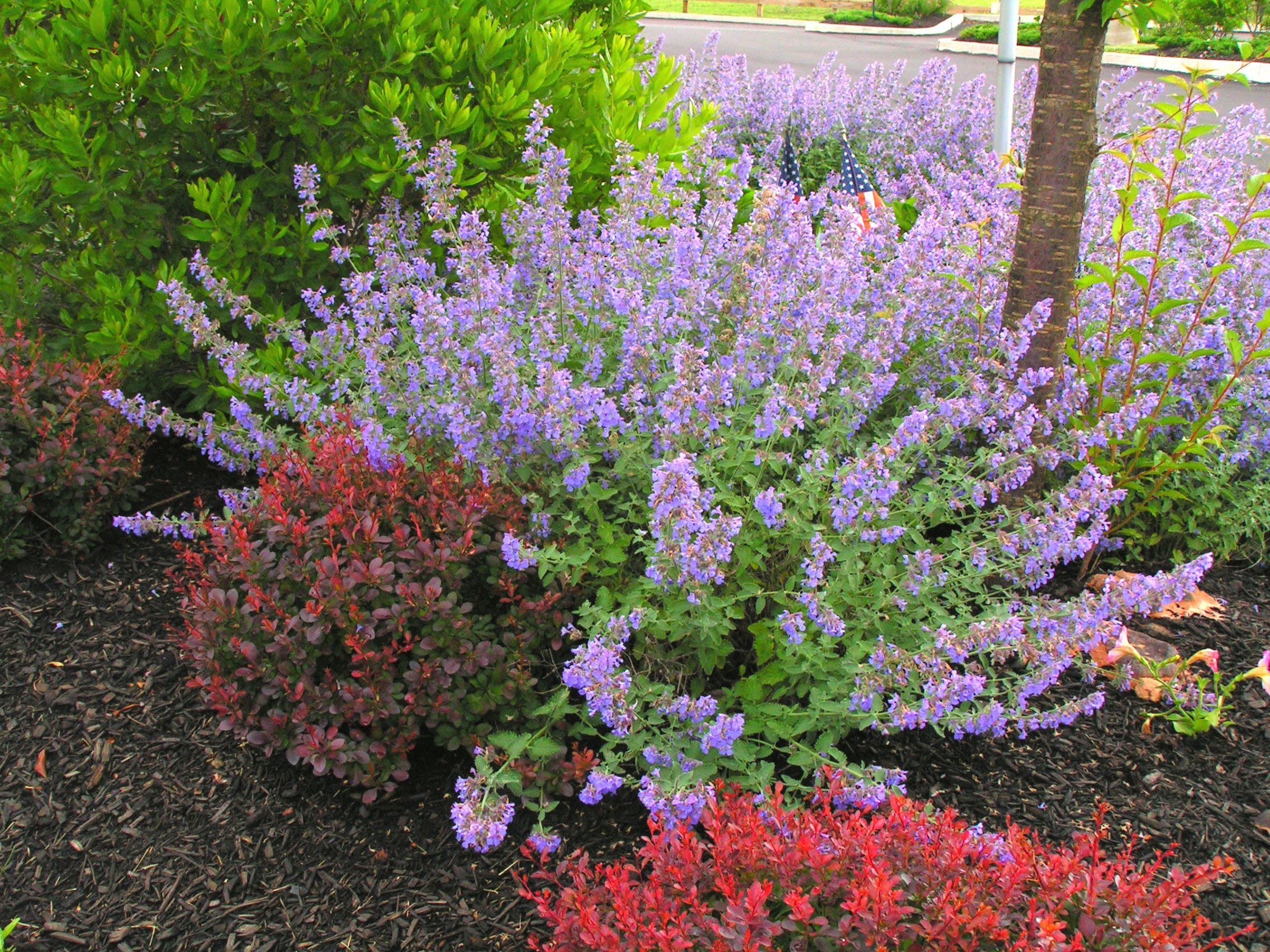 Growing a better catmint delhi for Planting a garden