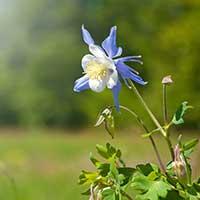 columbine-perennial-flower