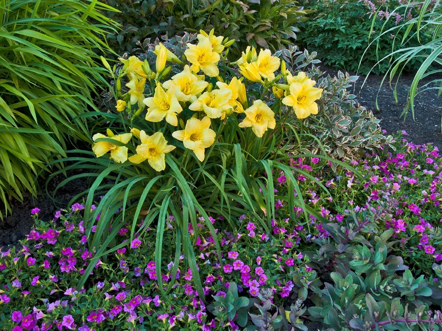 Upgrading Your Daylily Bed Delhi