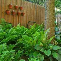 fern-perennial