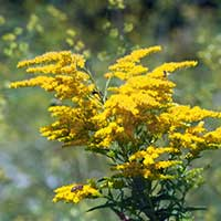 goldenrod-perennial