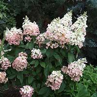 hydrangea-midwest-perennial