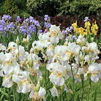 iris-perennials