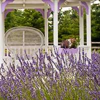 lavender-perennials