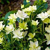 lenten-rose-perennial
