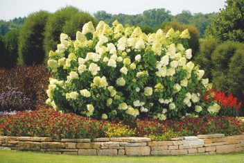 Breathtaking Panicle Hydrangeas Delhi