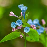 virginia-bluebell-perennials