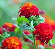 warm-weather-annuals-lantana